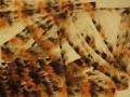1998-Leopard